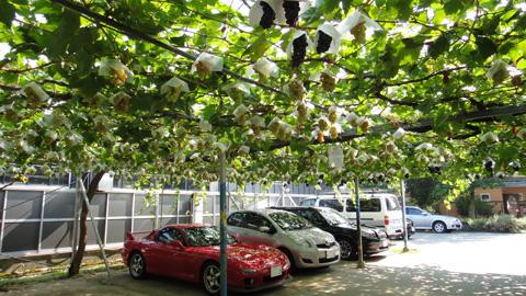 ぶどうの木駐車場