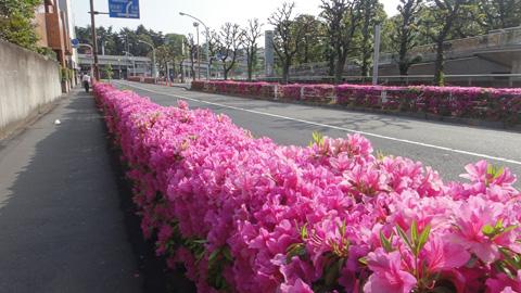 2011tsutsuji.jpg